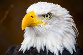 pic of vertebrate  - A Portrait of a beautiful bald eagle - JPG