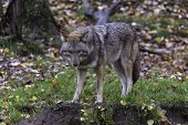 stock photo of coyote  - Coyotes in a wooded - JPG