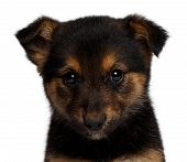 stock photo of sheep-dog  - puppy mixed - JPG