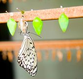 image of chrysalis  - Young butterfly hanging on its chrysalis to dry after hatching  - JPG