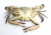 picture of blue crab  - closeup Blue crab isolated on white background - JPG