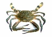 foto of blue crab  - closeup of blue crab isolated on white background  - JPG