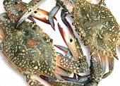 picture of blue crab  - closeup of blue crab isolated on white background  - JPG