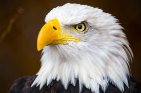 picture of bald headed  - A Portrait of a beautiful bald eagle - JPG