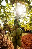 pic of pawpaw  - Papaya on the papaya tree in garden - JPG