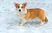 stock photo of corgi  - Cardigan Welsh corgi  stands in the snow - JPG