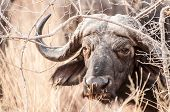 image of cape buffalo  - A big buffalo bull watching from below some branches - JPG