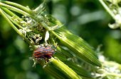 picture of shield-bug  - Striped shield bug on flowering plant  - JPG