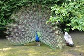 pic of peahen  - Peacock and pea hen in a mating ritual - JPG