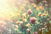 stock photo of red clover  - Red clover early in morning lit by morning sun rays