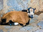 picture of baby goat  - Baby goat taking a rest near sheepfold in Serbia - JPG
