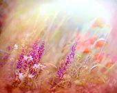 pic of poppy flower  - Beautiful purple flower in meadow and red poppy flowers - JPG