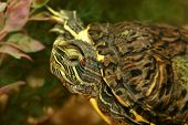 picture of terrapin turtle  - Red eared turtle in aquarium close up - JPG
