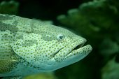 pic of grouper  - head of grouper fish in a Aquarium. ** Note: Soft Focus at 100%, best at smaller sizes - JPG