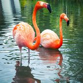 picture of pink flamingos  - Two pink flamingos walking in the water with reflections - JPG
