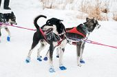 stock photo of sled  - Sled Dogs Wait at Checkpoint  - JPG