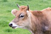 stock photo of cow head  - Portrait head of horned brown cow with green grass background - JPG