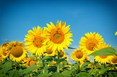 stock photo of sunflower  - Field of sunflowers  - JPG