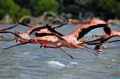 picture of greater  - Greater Flamingos - JPG