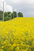 foto of rape  - Yellow oilseed rape field under the blue sky with sun - JPG