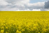 picture of rape  - Yellow oilseed rape field under the blue sky with sun - JPG