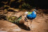 foto of peahen  - Peacock photographed from side with colourful tail in foreground and head in profile in background - JPG