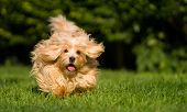 pic of toy dogs  - Happy orange havanese dog is running fast towards camera in the grass - JPG