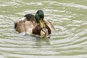 picture of mating  - A pair of Mallard ducks mating in a pond.