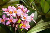 stock photo of plumeria flower  - frangipani flower or Plumeria - JPG