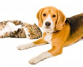 picture of scottish-fold  - Portrait of a beagle and cat Scottish Fold together - JPG