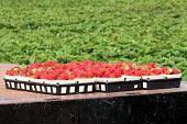 stock photo of truck farm  - Large trays of ripe strawberries sitting on back of farm truck - JPG