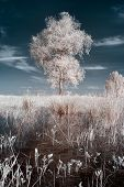 foto of birching  - infrared photography birch on the background of dark sky and evening light - JPG