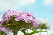 picture of carnation  - Blossoming flowers wild carnations over the sky  - JPG