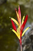 picture of heliconia  - A view of a Heliconia psittacorum flower - JPG