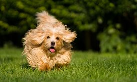 foto of toy dog  - Happy orange havanese dog is running fast towards camera in the grass - JPG