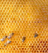 foto of honey-bee  - honey comb and a bee working - JPG