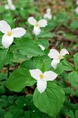 picture of trillium  - Blooming Trillium Flowers in a forest in spring - JPG
