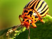 stock photo of wreckers  - The bug the wrecker an insect a close up insect garden vegetable up beetle green on animals orange top ornamental - JPG