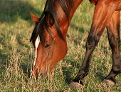 foto of brown horse  - A beautiful redish brown horse feeds in the sunlight - JPG