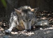 Tundra Wolf Laying In A Huge Pile Of Leaves. poster