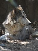 Shaggy Timber Wolf Relaxing In A Pile Of Leaves. poster