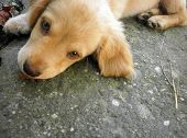 The Little Golden Retriever Watches.the Little Golden Retriever Sits On The Concrete And Watches The poster