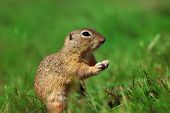 Detail Rodent Sulful In Grass. Wild Little Animal In Wild Nature. Photo From World Of Animals. poster