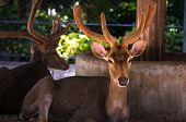 Deer Are The Ruminant Mammals Forming The Family Cervidae. Species In The Family Include The White-t poster