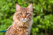 Black tabby Maine Coon cat with leash sitting on green grass in park. Pets walking outdoor adventure poster