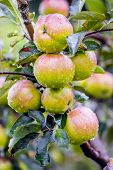 Ripe Juicy Apples With Dew Drops In A Garden On A Tree Branch poster