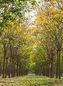 Rubber Tree In Rubber Forest Background Normal View Vertical poster