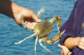 Light Blue Crab