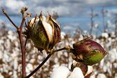 stock photo of boll  - Close up of two cotton bolls growing on the stem in a field of cotton plants that is close to harvest time - JPG