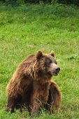 One Small Brown Bear (ursus Arctos) With Green Background And Copy Space poster